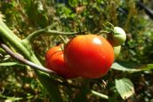 La culture biologique de la tomate